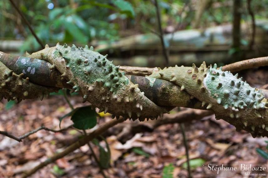 liane-épineuse-épine-jungle-thailande