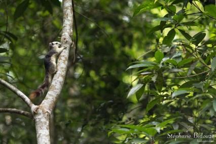 ecureuil-khao-yai-jungle
