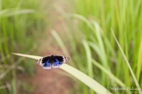 Junonia-Orithya-papillon-thailande