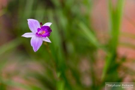orchidée-vietnam