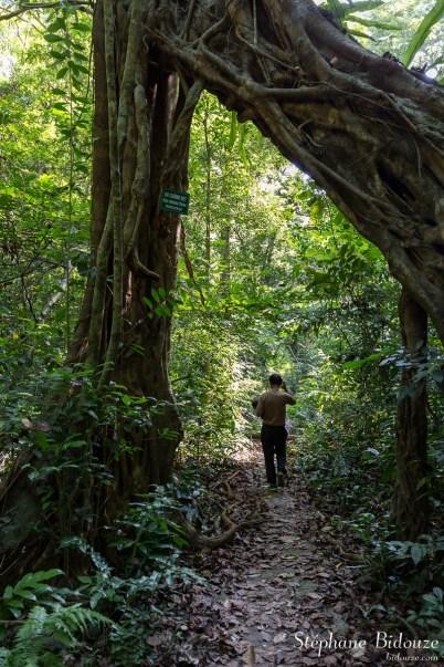 ficus-jungle-arbre-tronc-racines