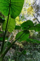 taro-feuille-plante-jungle