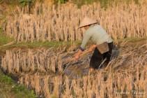 labour-riz-champ-riziere-manuel-vietnam