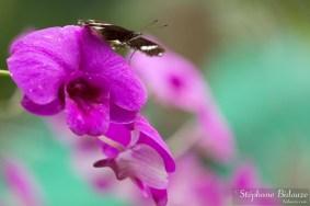 bangkok-papillon-orchidée