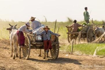 charette-vaches-birmanie-paysans