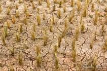 sol-sec-craquele-champ-riz-thailande