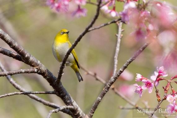 Zostérops-oriental-oiseau-thailande