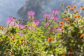 cleomes-fleurs-thailande