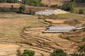 Les champs de riz secs et les serres à Chrysanthèmes