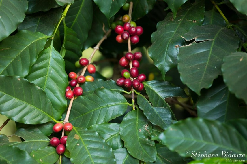 grains-café-rouge-arbre