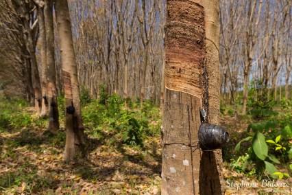hevea-plantation-caoutchouc-thailande