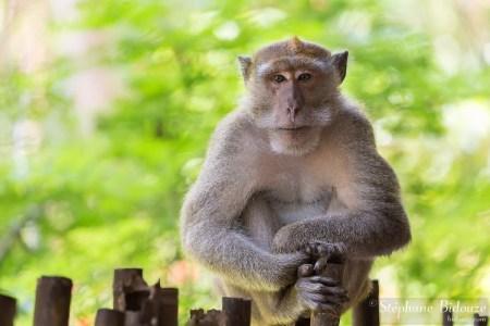 macaque-portrait-singe-thailande