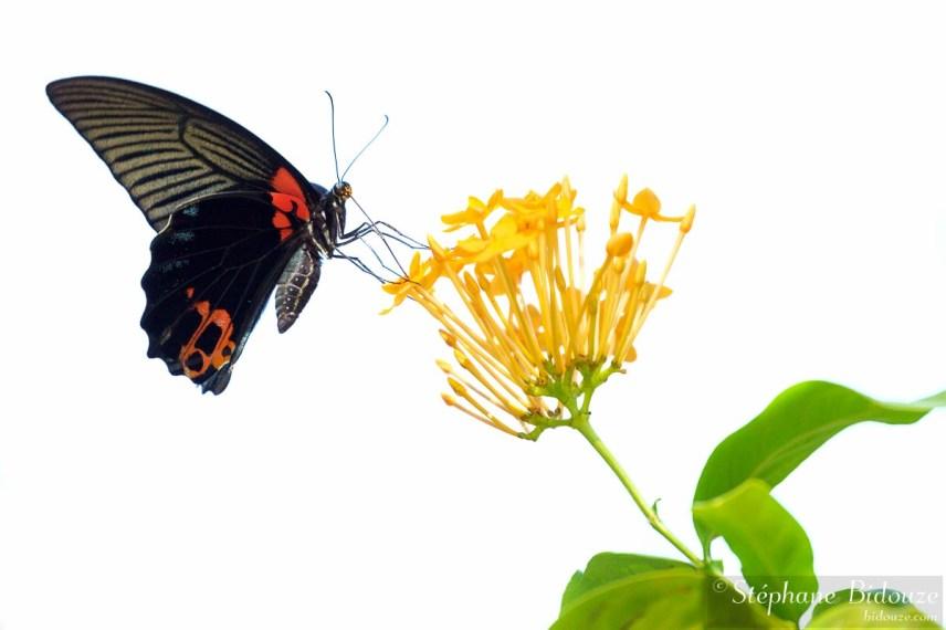 Papilio Memnon Agenor