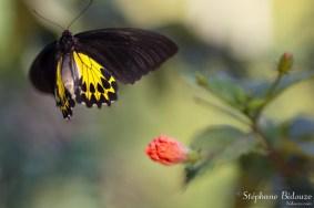 thailande-papillon-Golden-Birdwing