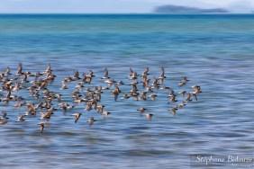 oiseau-mer-thailande-bécasseau