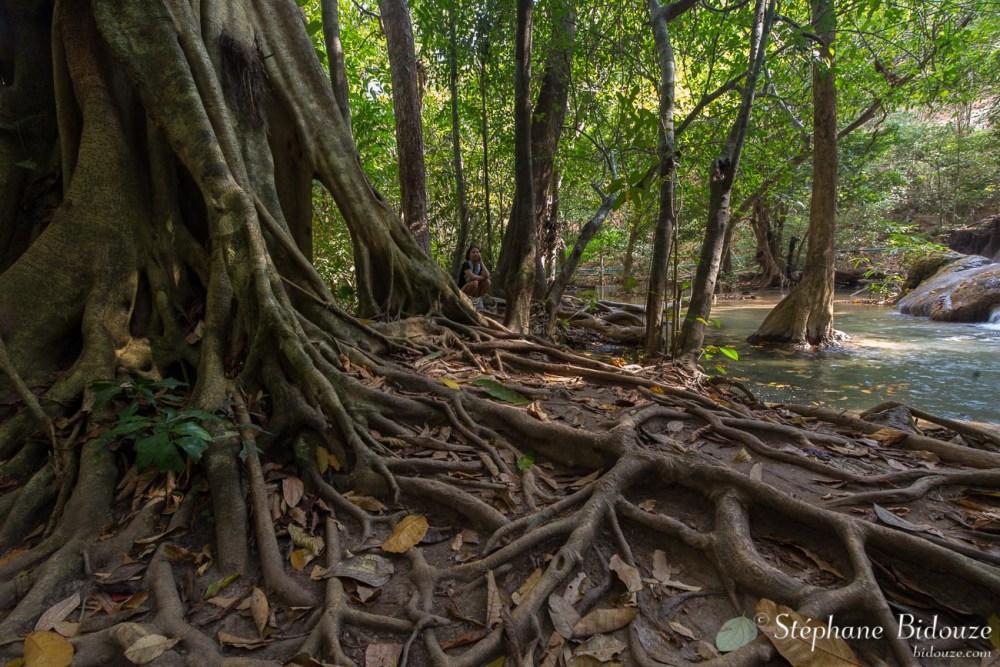 Ficus (figuier)