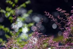 fleur-rose-thailande