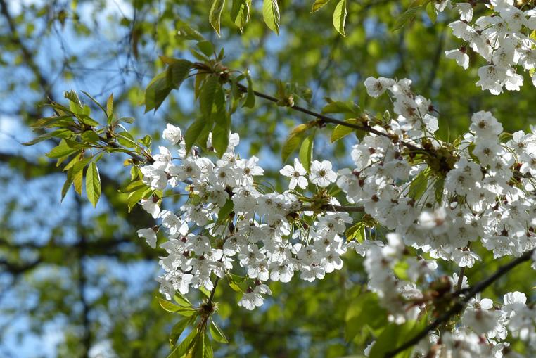 Fleurs-de-printemps
