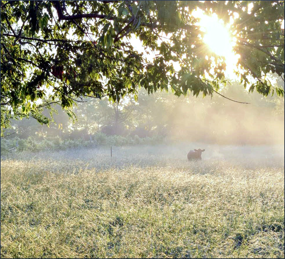 Photo of a cow standing in a field at sunrise.