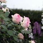 美しいまちづくり:花々と緑の美瑛町に