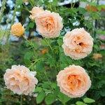 華やかな杏色のバラ : ポルカ [Polka]
