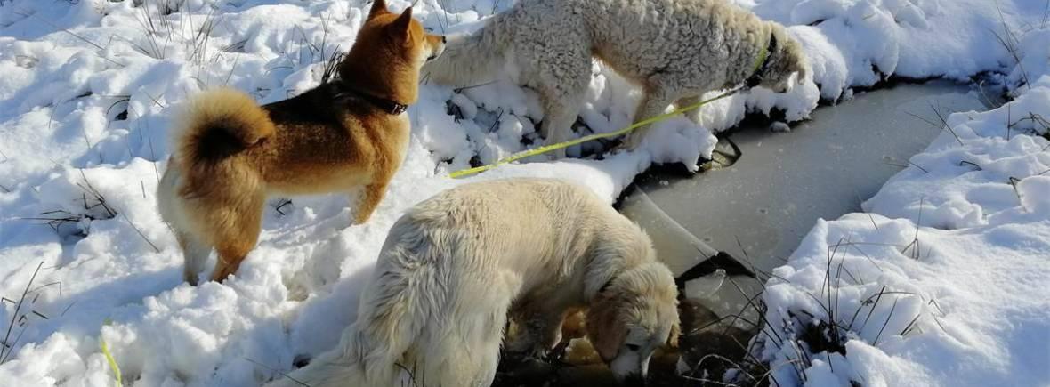 balade de chiens