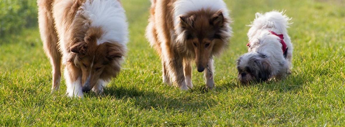 promenade collective de chiens