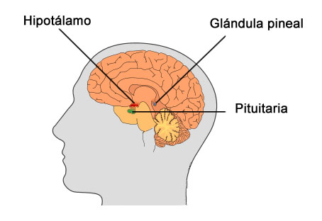 hipotalamo pituitaria pineal