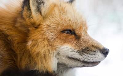 Que peut faire un renard pour ne plus être un renard ? – La réponse d'Alexandre Jollien