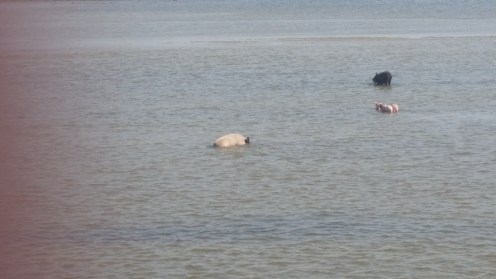 Pigs in the low tide off the island of Fadiouth