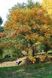Koelreuteria paniculata De Chinese vernisboom, gele zeepboom, lampionboom, koelruit of blazenboom is een boom die behoort tot de zeepboomfamilie. De soort wordt in parken en langs straten aangeplant.