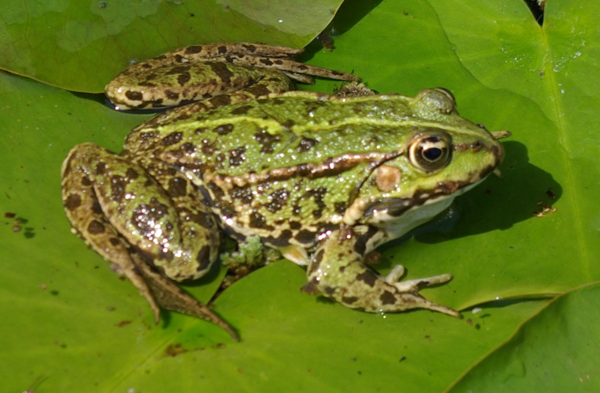 Amphibians « Big Animals
