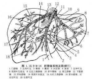 肝臟_英文_拼音_什么是肝臟_醫學百科