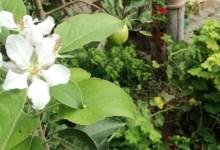 Photo of Şaşkın Elma Ağacı Çiçek Açtı