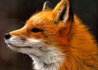 fox_hunt_logo
