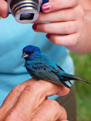Indigo Bunting up close