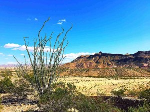 an ocotillo with the chisos in the background