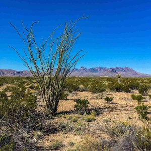 Ocotillo with chisos mountains