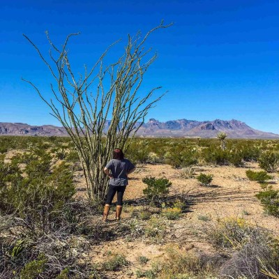 Looking at an ocotillo with a chisos mountains backdrop