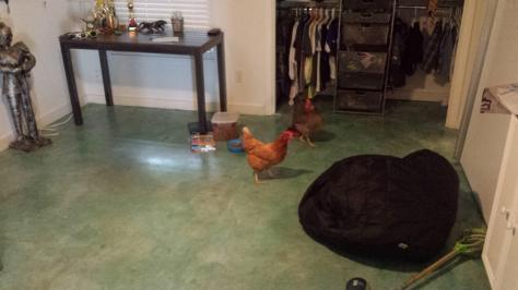 The Red one is the ill fated chicken that was sacrificed by Marodnius