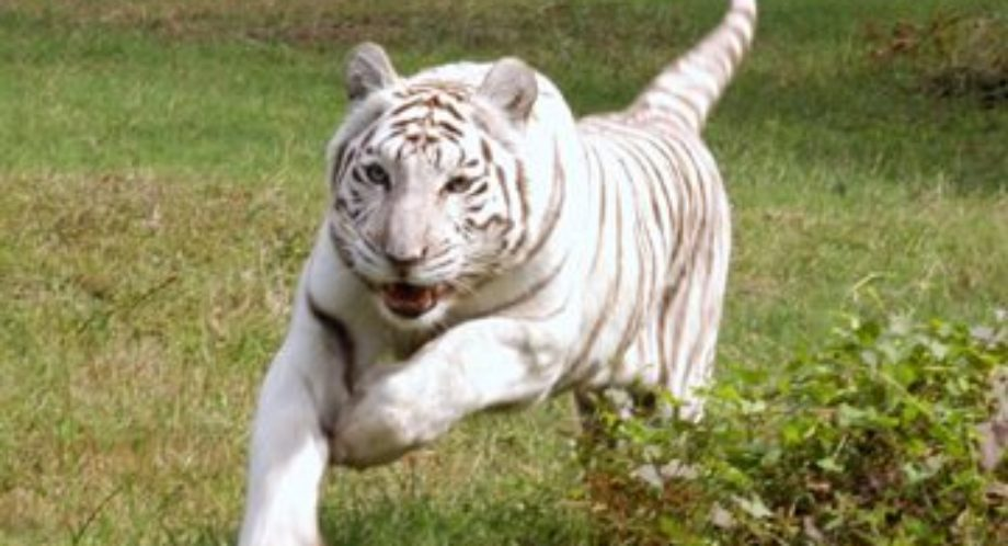 Zabu Big Cat Rescue