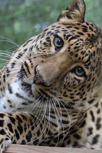 leopard facts photos sounds