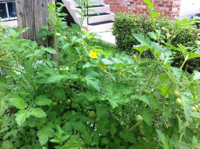 Native urban garden - tomatoes and cucumbers