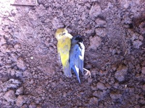Bird strike victims.