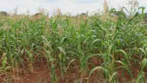 Photo-based crop insurance could debut in Kenya in 2019