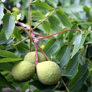 wGJY9XYnButternut Tree Fruit