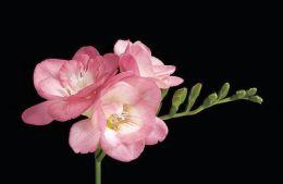 pinkfountain-freesia