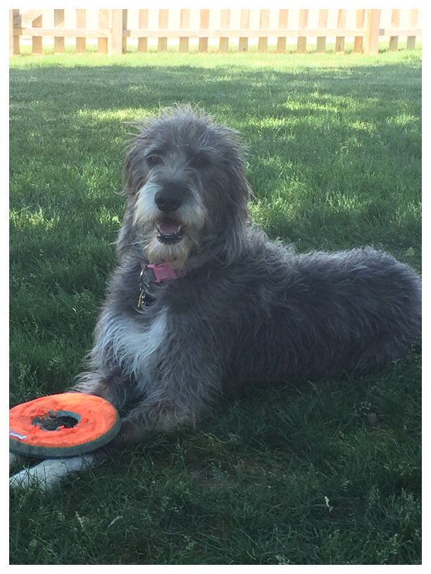 Great Danoodle Puppies For Sale Near Me : great, danoodle, puppies, Wabash, Valley, Doodles