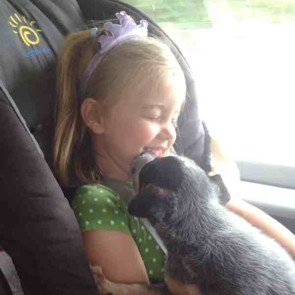 Blue Heeler puppy kisses