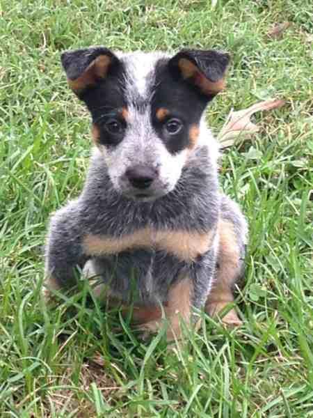 Blue Heeler Pup